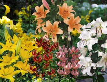 Classification of lily species