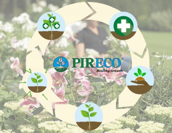 Perennial organic lily cultivation with pireco