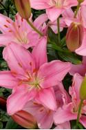 lily bulb Foxtrot