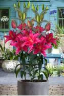 lily bulb Gomera