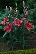 lily bulb Corvara