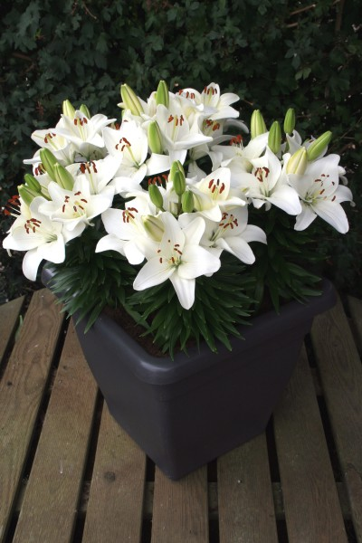 lily bulb Happy Snow