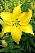 lily bulb Ilse