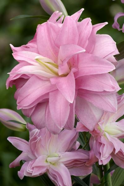Lotus Breeze  5 lilly bulbs