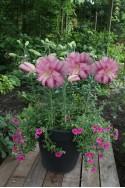 lily bulb Lotus Breeze