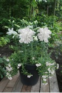 lily bulb Lotus Ice
