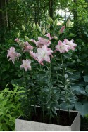 lily bulb Lotus Queen
