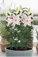 lily bulb Hachi