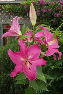 lily bulb Meridon