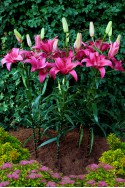 lily bulb Pink County
