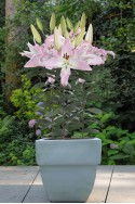 lily bulb Pink News