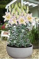 lily bulb Primrose Hill
