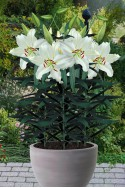 lily bulb Puresse