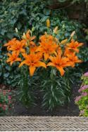 lily bulb Regents Park
