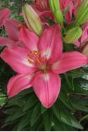 lily bulb Rozalynn