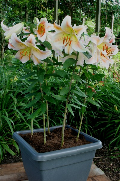 lily bulb Muscadet