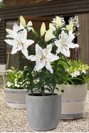 lily bulb Siberia