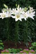 lily bulb Levi