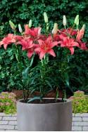 lily bulb Sylt