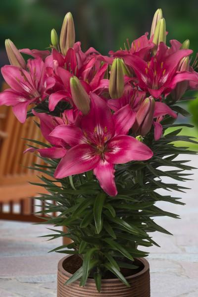 lily bulb Trendy Dakota