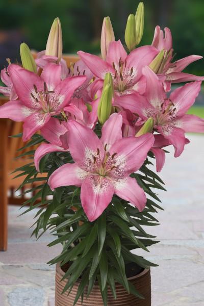 lily bulb Trendy Nicosia