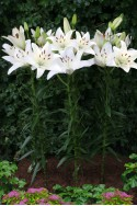 lily bulb White County