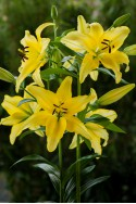 lily bulb Yellow Power