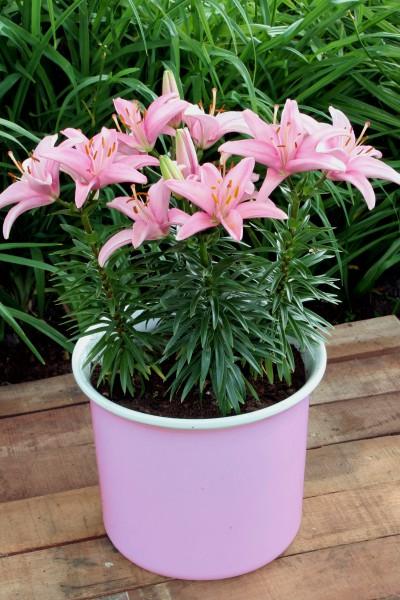 lily bulb Silla