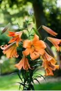 lily bulb African Queen