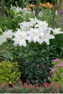 lily bulb Annemaries Dream