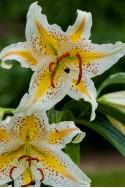lily bulb Auratum (Gold Band)