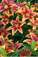 lily bulb Avalon Sunset
