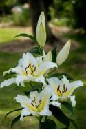 lily bulb Baferrari