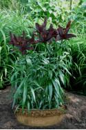 lily bulb Blacklist