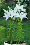 lily bulb Bright Diamond
