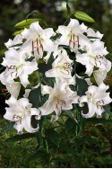 lily bulb Casa Blanca