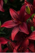 lily bulb Cavoli