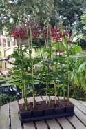 lily bulb Claude Shride