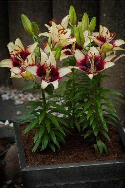 lily bulb Curitiba
