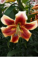 lily bulb Debby
