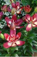 lily bulb Double Sensation