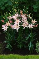 lily bulb Easy Waltz