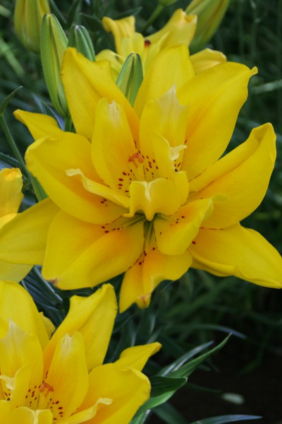 lily bulb Fata Morgana