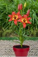 lily bulb Forever Linda