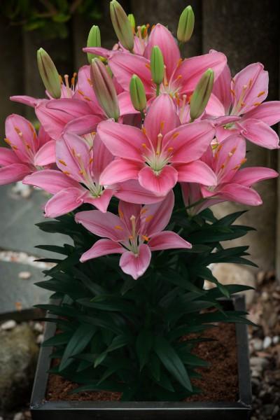 Foxtrot 5 lilly bulbs