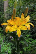 lily bulb Gold Twin