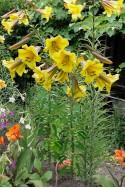 lily bulb Golden Splendor