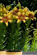 lily bulb Golden Stone