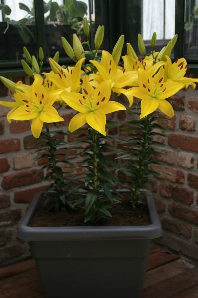 lily bulb Happy Sun