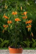 lily bulb Henryi